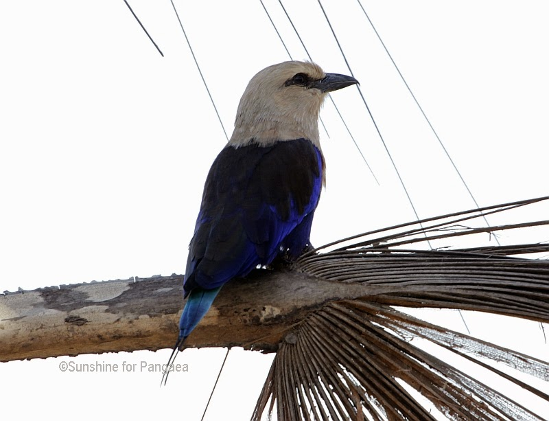 A Blue Bellied Roller