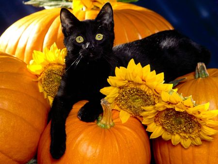 Halloween Wallpaper on My Top Collection Halloween Cat Wallpaper 5
