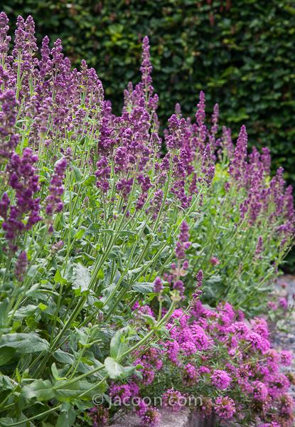 Salvia nemorosa 'Plumosa'