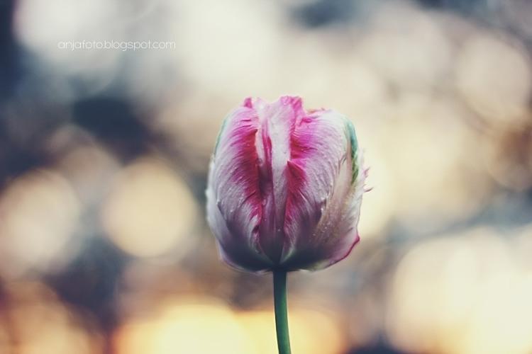 tulipan, tulipany, kwiaty, wiosenne kwiaty, wiosna, tulips