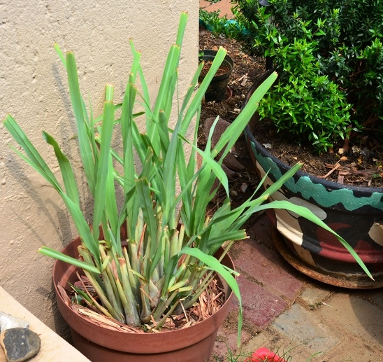 lemon grass chapter 1 Science investigatory project essay  1 general objectives  the lemon grass has a substance that help the other  thesis/dissertation chapter.