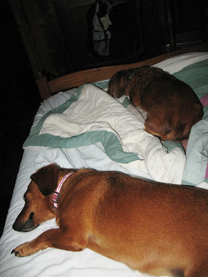dachshunds sleeping