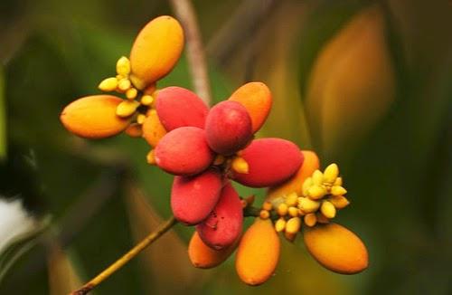 Gambar buah melinjo