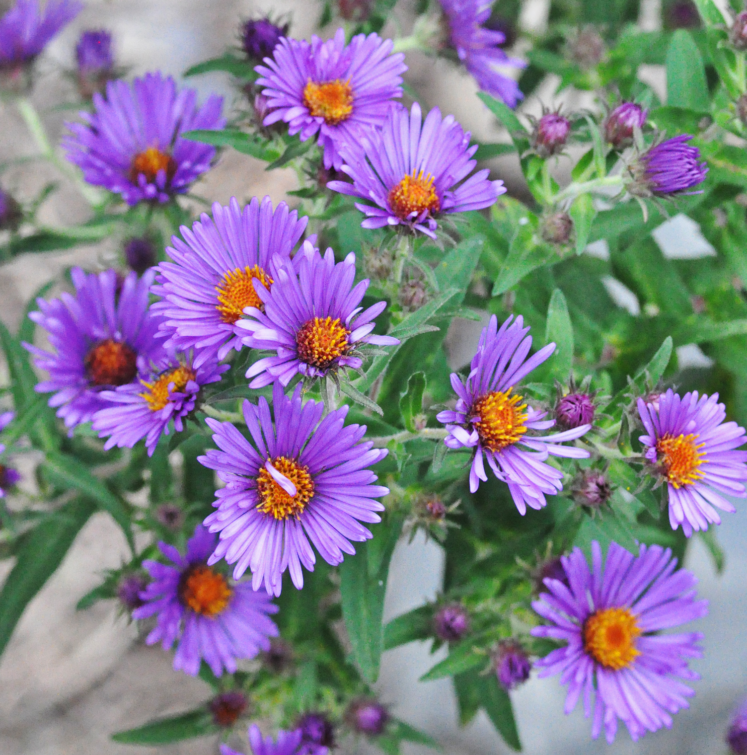 Octobers Plant Of The Month New England Aster Fiddlehead Creek