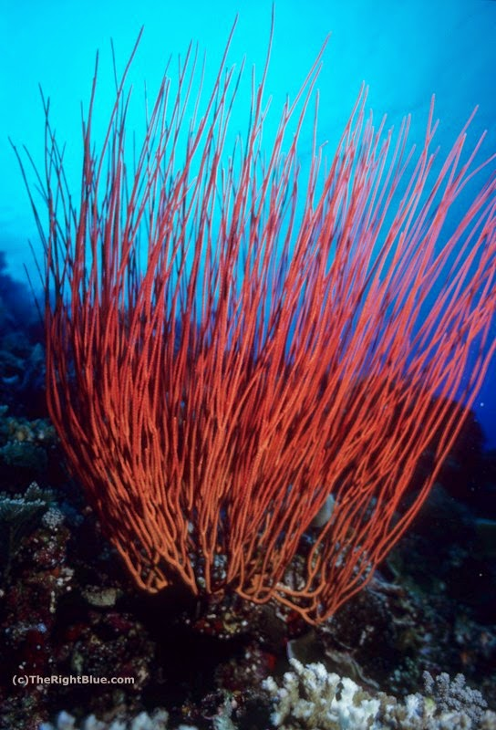 Sea Whips (Ellisella ceratophyta)
