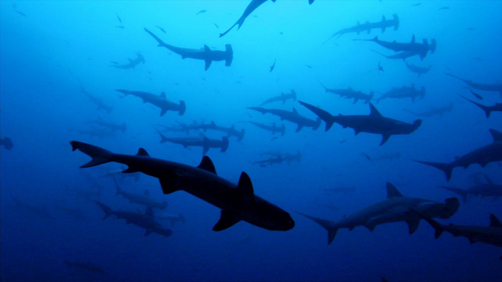 Ecologistas piden que se prohiba la caza de tiburones en ...