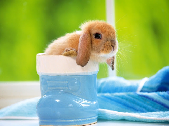 Rabbits Wallpapers, Beautiful Bunny Wallpapers,