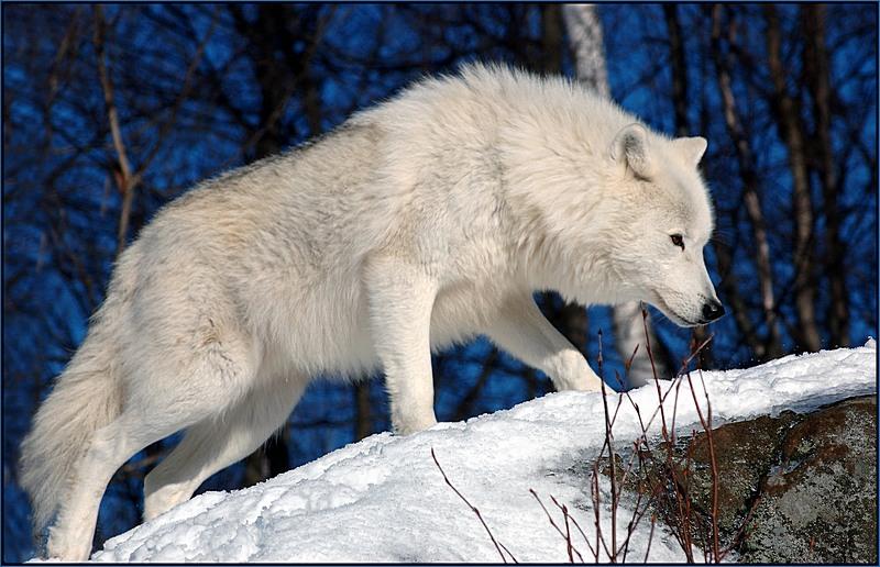 Arctic wolf in snow - photo#3