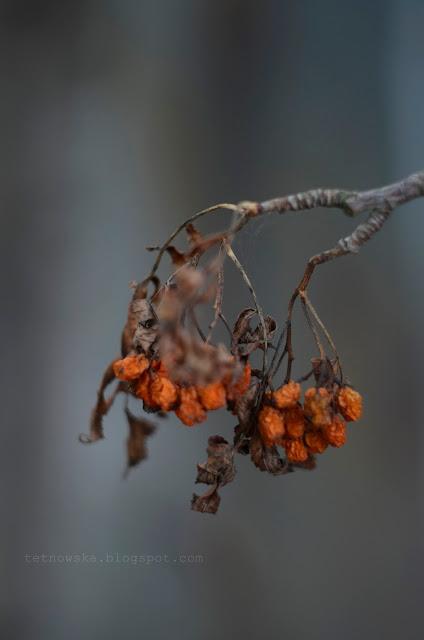 helios, jesień, fotografia, jarzębina, zdjęcia