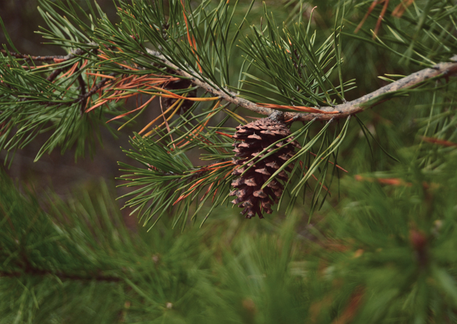 The Flying Clubhouse: Pine Cone
