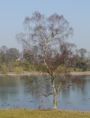 Ash Tree beside the lake in Blenheim Park