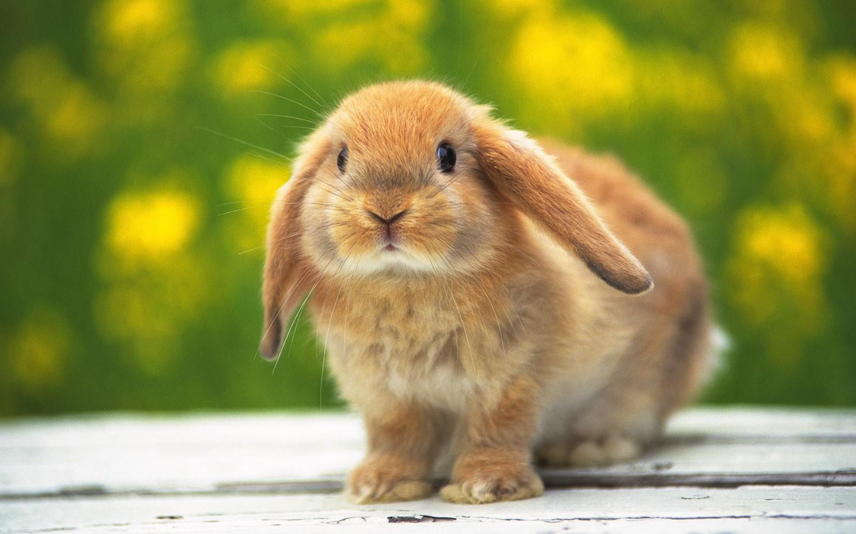 [Image: widescreen-desktop-wallpaper-Cute-rabbit...-32511.jpg]