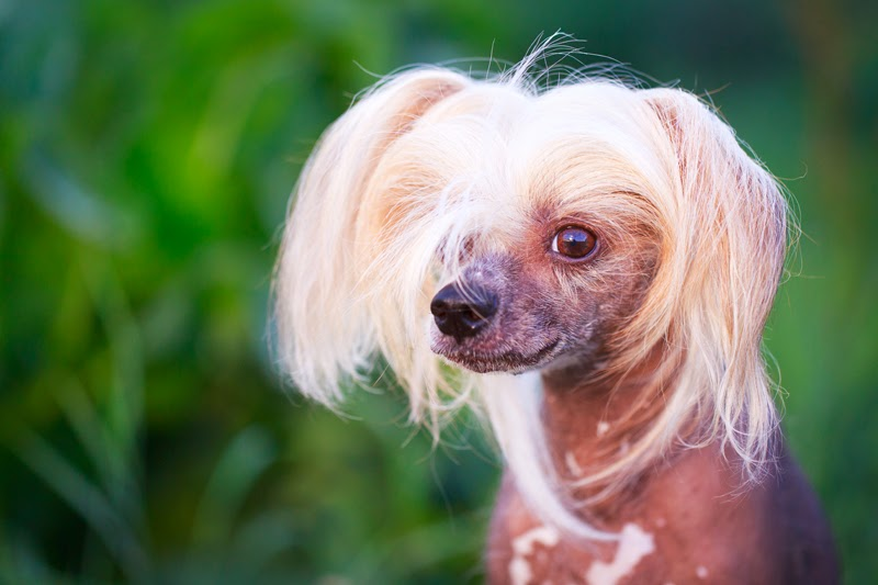 A thoughtful Chinese Crested dog against the greenery in the park
