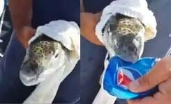 Fish eating a pepsi tin bottle