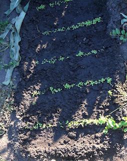 1 августа, всходы салата второго посева