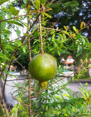 Pokok Delima Akhirnya Berbuah