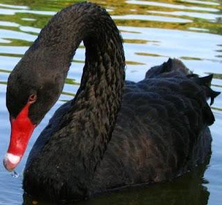 Cisne negro en el agua