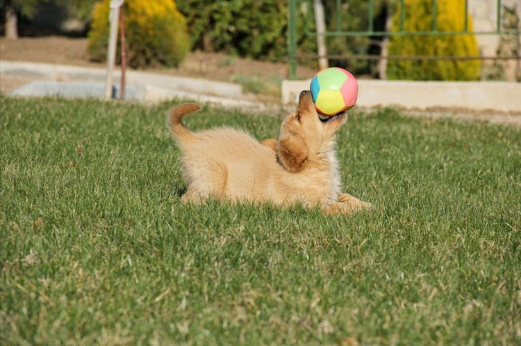 Golden Retriever Puppy With A Ball