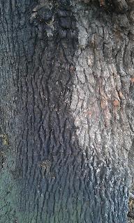 Quercus robur - Oak Tree Brockwell Park Mature Bark
