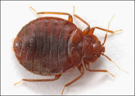 Bed bug close up - photo#16