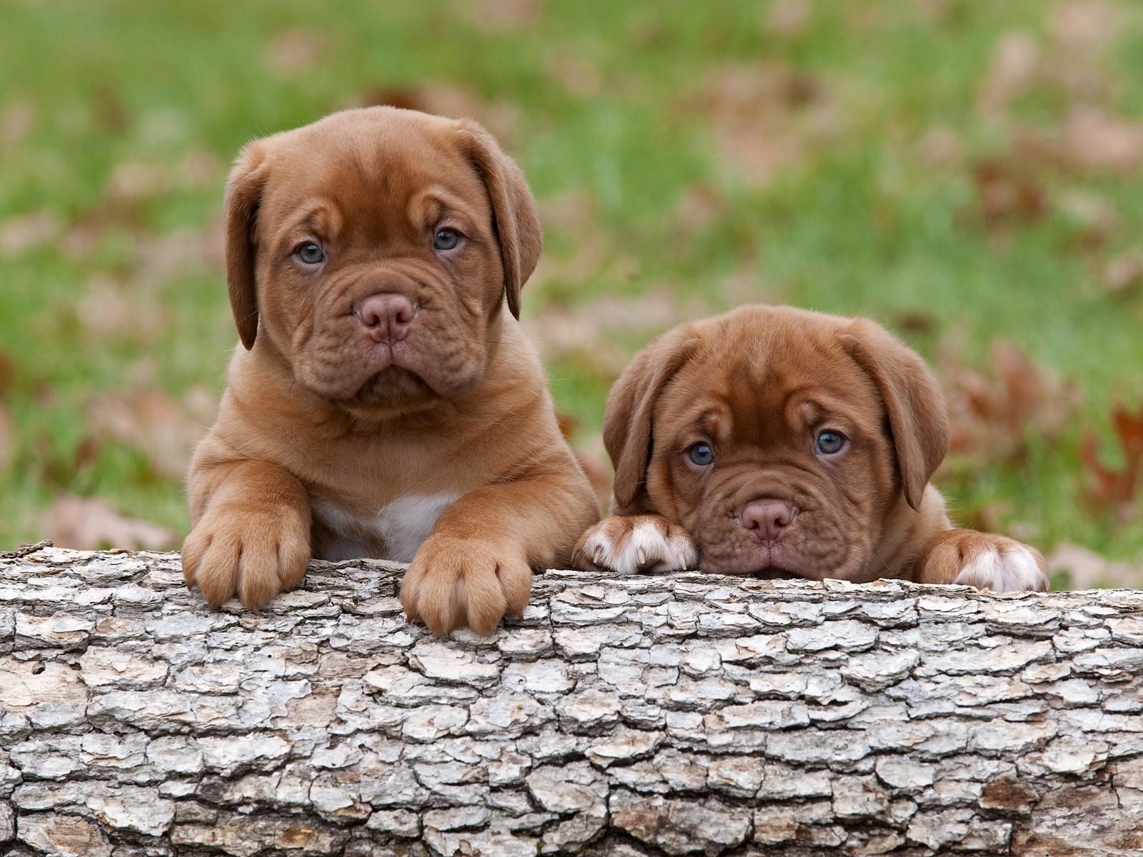 http://2.bp.blogspot.com/-czoq65ZeIMI/UTAcMun8ywI/AAAAAAAAFh4/Nz6T67j1a54/s1600/dogs-puppies-dogue-de-bordeaux-HD-Wallpapers.jpg