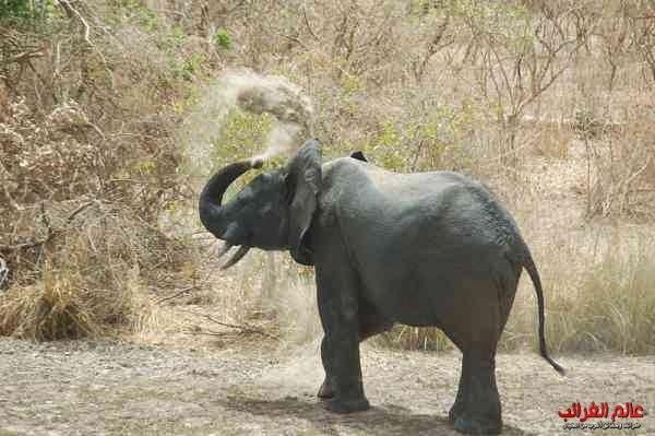 الفيلة، العجائب والغرائب، الفيل