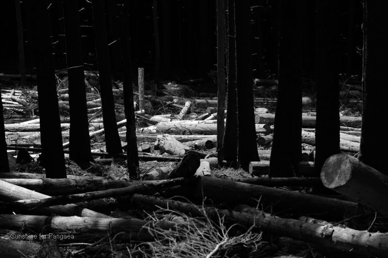 Dead trees in the Bavarian Forest National Park.