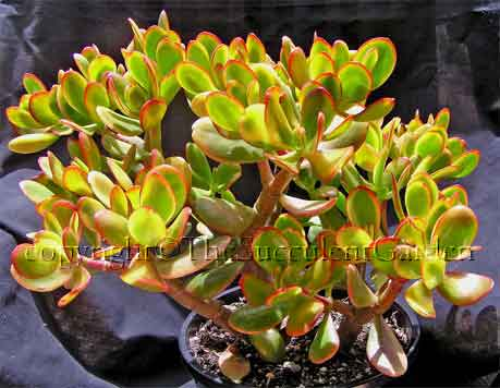Crassula ovata 'Hummel's Sunset'