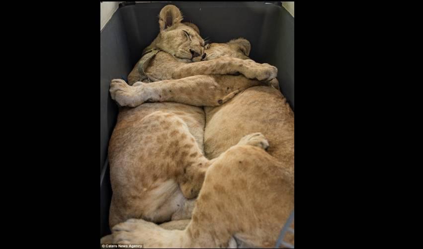 Mengharukan, Begitu Ketemu Anak Singa ini Berpelukan