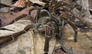 Theraphosa blondi, Laba-laba Tarantula Terbesar