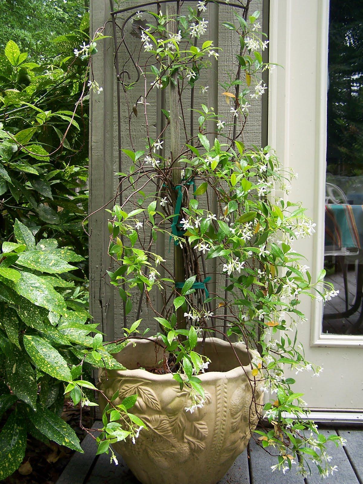 green place confederate star jasmine. Black Bedroom Furniture Sets. Home Design Ideas