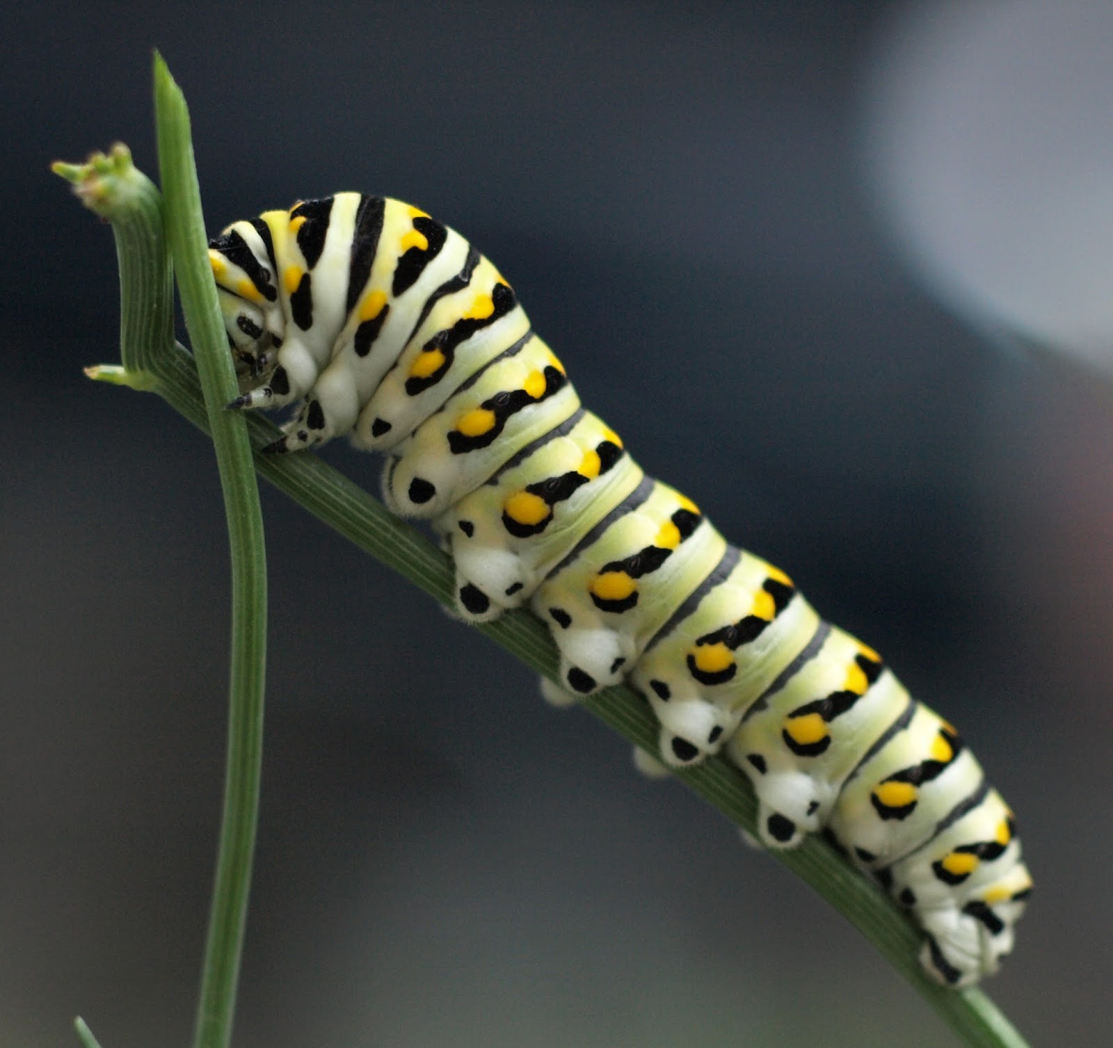 A lime green caterpillar with black stripes and yellow dots eating a plant