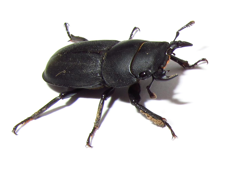 Bugblog more lesser stag beetles more lesser stag beetles sciox Images