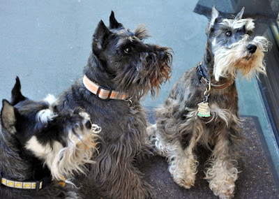 Calvin, Oscar, and Hugo - Miniature Schnauzers at The Inn on First in Napa, CA - Photo by Taste As You Go