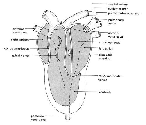 Knowledge class evolution of vertebrate heart amphibians ccuart Image collections