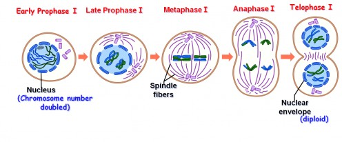 Difference between Mitosis and Meiosis (32 Differences) ~ Biology ...