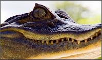 Costa Rica, reptile eye, aligator crocodile, Chris Baer, WhereIsBaer.com