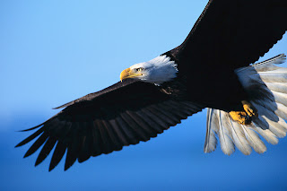 eagle hawk animal wallpaper bird
