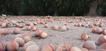 HAZELNUT Fertility Management