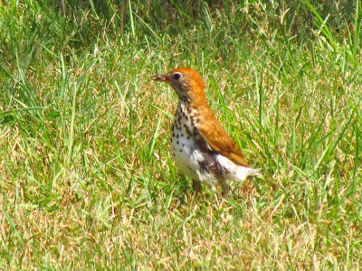 wood thrush checking out the yard