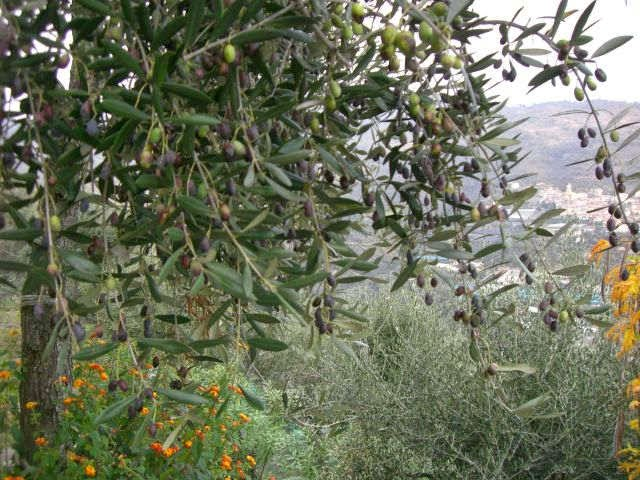 Bäume voller Oliven