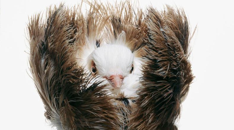 Palomas de Darwin: Impresionantes fotografías de Palomas Por Richard Bailey