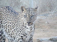 Foto Macan Tutul Arab (Panthera pardus nimr)