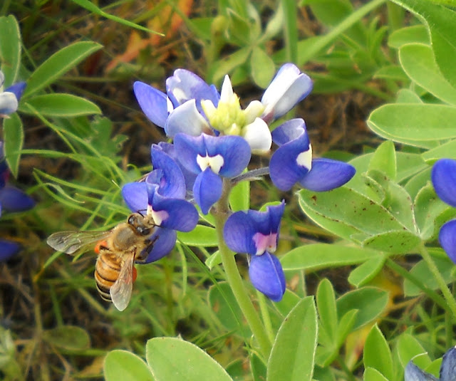 Honey bee and a Texas Bluebonnet wildflower at White Rock Lake, Dallas