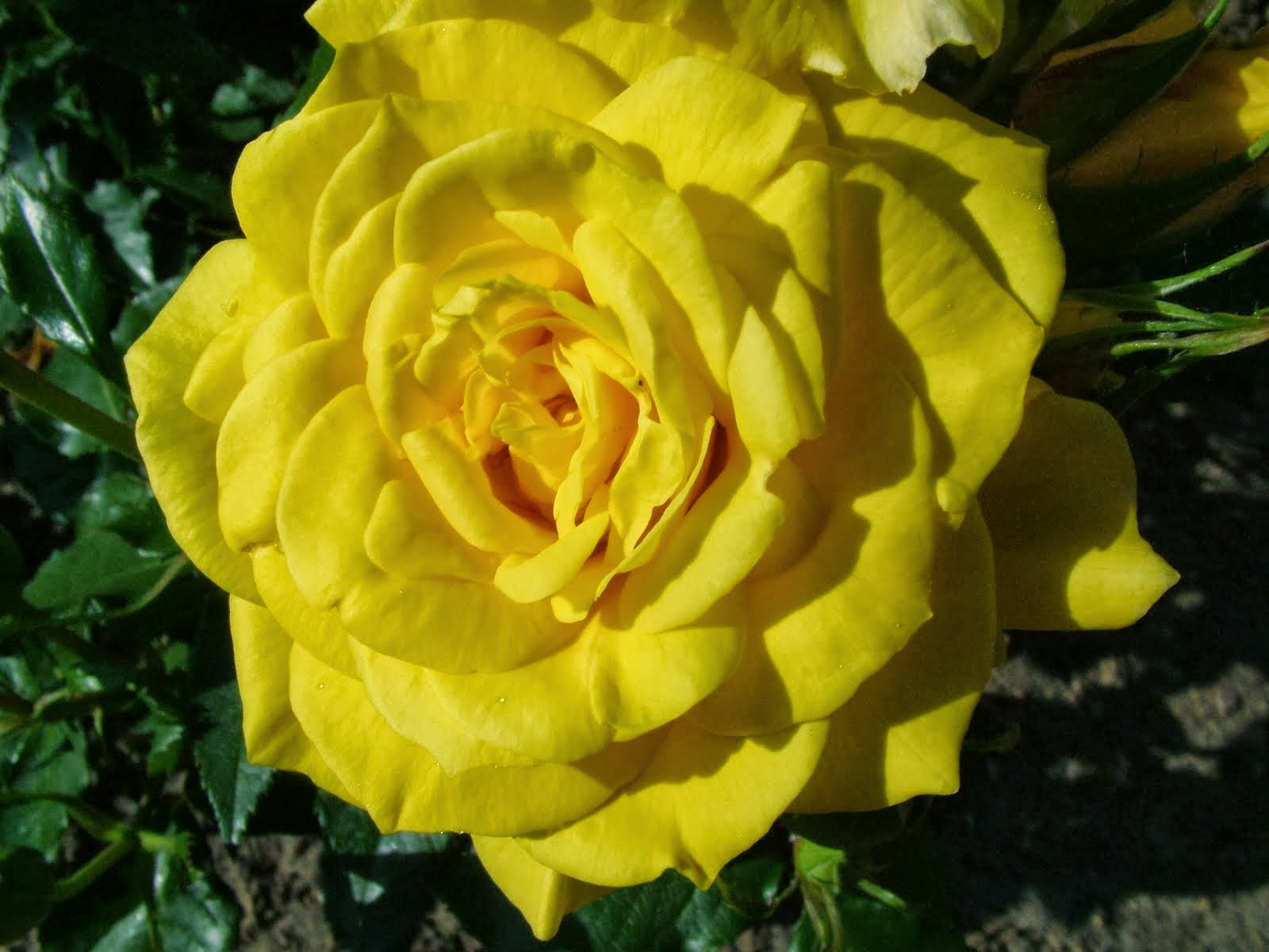 Seo Tags Beautiful Yellow Rose Wallpapers