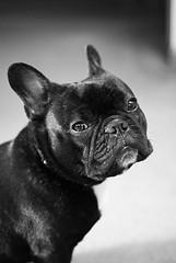french bulldog looking