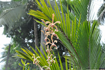 Sri Lanka 'scorpion Orchid