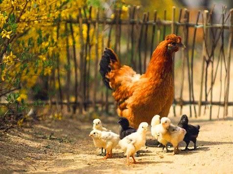 Variasi warna bulu ayam