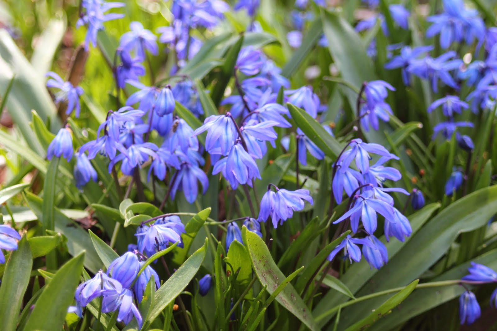 Gardening and gardens little blue spring flowers what are they its six blue petals surround stamens that have thread like filaments and are not clustered together scilla can grow 3 6 inches high and each bulb produces mightylinksfo