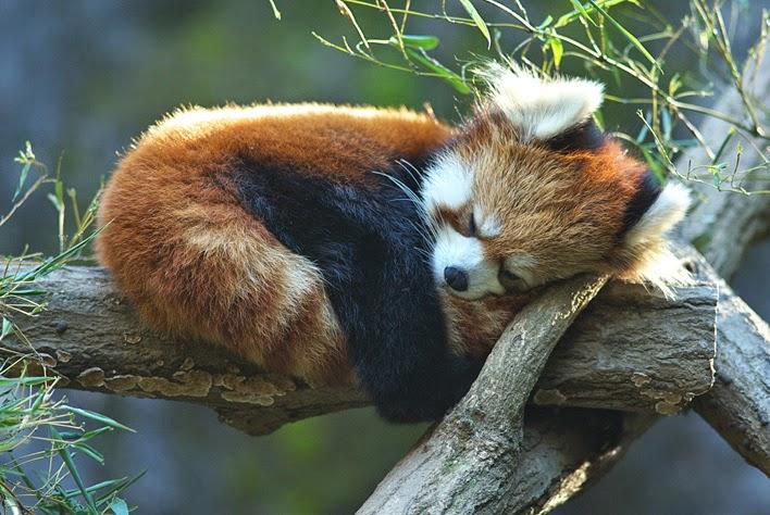 40 Adorable red panda pictures (40 pics), red panda sleeping on tree log